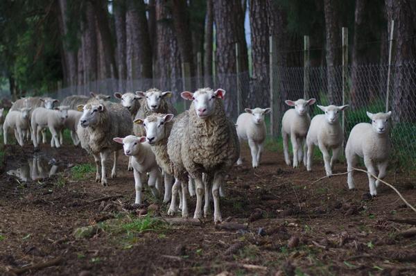 A Cascia un maxigregge di pecore rinnova la