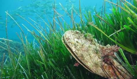 Rischio estinzione per le nacchere di mare