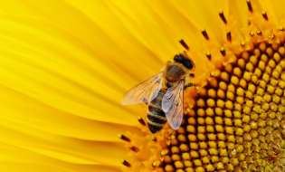 Le api sarde decimate dalla siccità