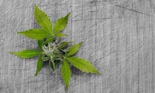 Cannabis legale, un business da 10 miliardi di euro