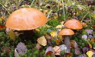 Funghi in Sardegna: in arrivo un'annata eccezionale