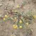Una pianta sarda per bloccare Hiv e Aids