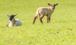L'agnello sardo è a rischio falsificazione