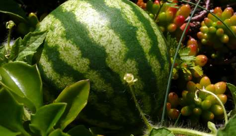 Frutta in Sardegna fin dal tempo dei Fenici