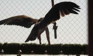 Torna a volare in Sardegna l'Aquila di Bonelli