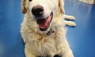 Salvato il cane Calik, maremmano gettato da un ponte