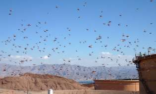 Cavallette, è invasione biblica: milioni nella Sardegna centrale