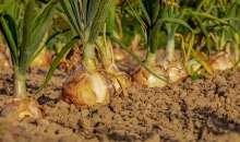 La cipolla del Sulcis certificata come tesoro alimentare