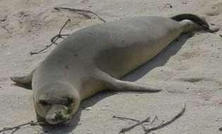 Parte dalla Sardegna l'operazione foca monaca