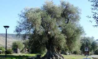 Monumento Naturale Olivo millenario di Sini