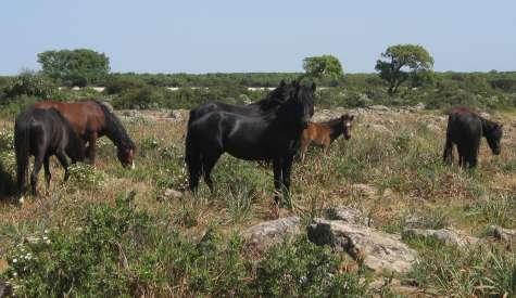 Dalla Regione 150mila euro per tutelare i cavallini della Giara