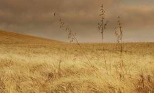 Il grano sardo messo in ginocchio da pioggia e prezzi bassi