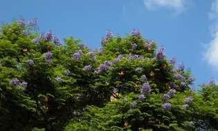 Fondi per valorizzare gli alberi monumentali sardi