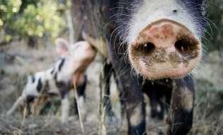 La bufala della carne di maiale vietata a Monserrato
