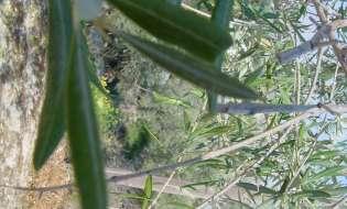 Camminata dell'olio d'oliva in 13 città sarde