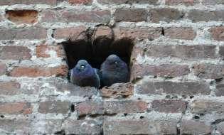 In Sardegna arrivano i falchi anti piccione