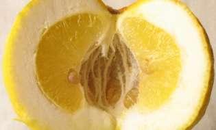 Sa Pompia dalla Sardegna uno dei più antichi agrumi al mondo