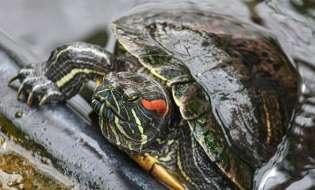 Alieni, tre tartarughe palustri trovate a Budoni