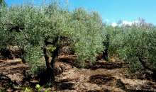 A fine ottobre anche la Sardegna cammina tra gli ulivi